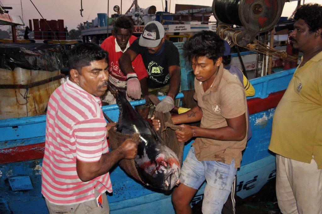 Poranna dostawa na targ rybny Negombo