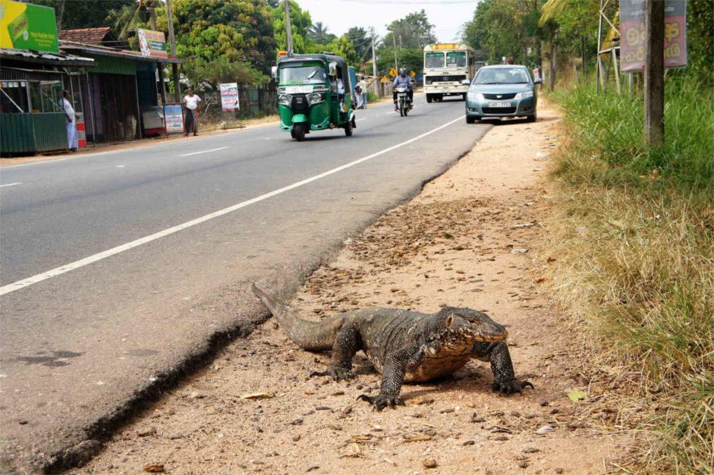 Waran na trasie, Sri Lanka