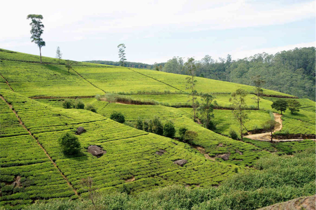 Pola herbaciane Nuwara Elija