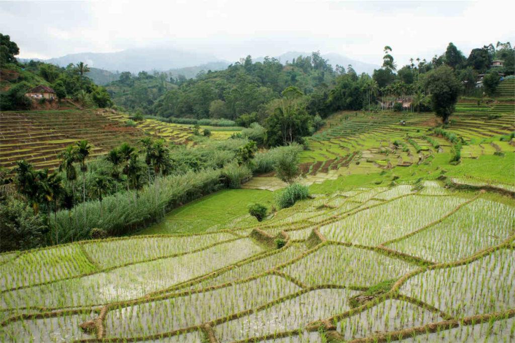 Pola ryżowe, Sri Lanka