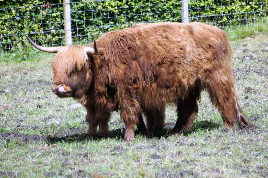 szkockie bydło