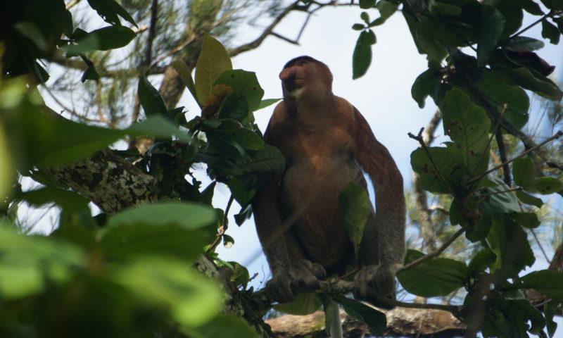 Nosacz na Borneo